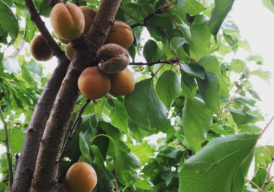 De eerste abrikozen